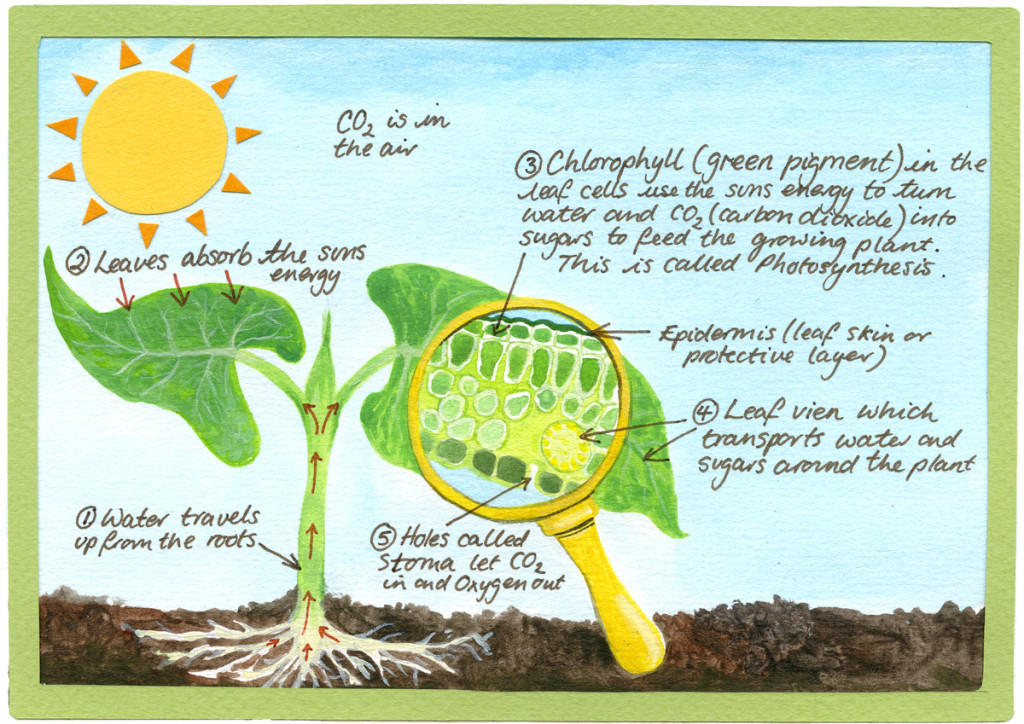 photosythesis are Photosynthesis is a process for converting sunlight into energy used by plants, algae, and some bacteria the way photosynthesis.